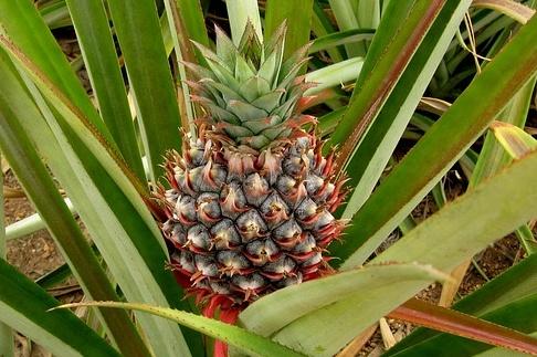 Kip met ananas